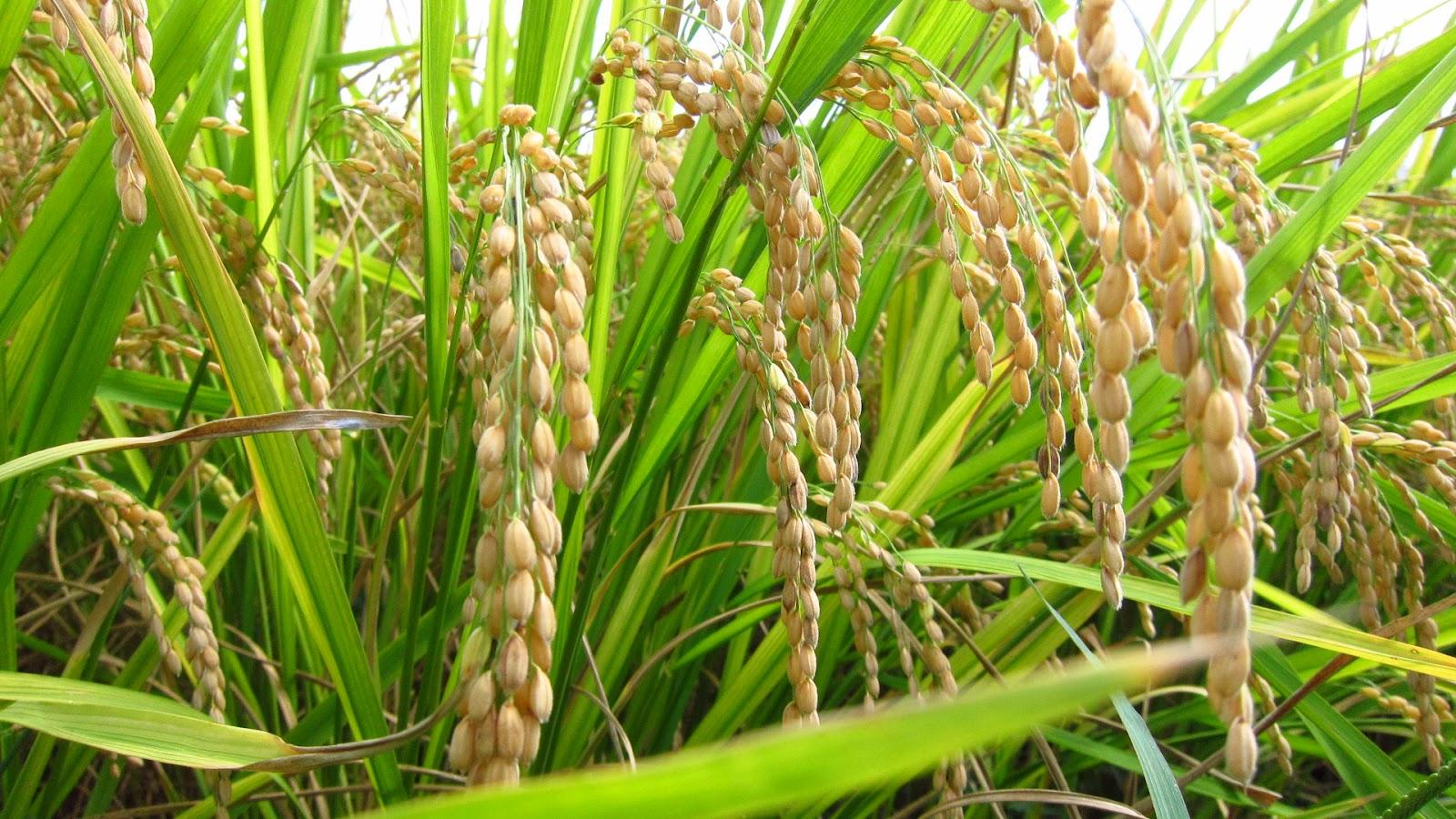 Organic-Golden-Rice-2
